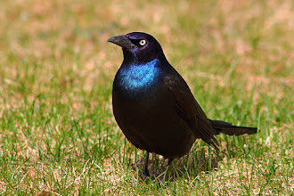 Photo: For #BirdPoker : Black Birds curated by +Phil Armishaw  My Common Grackle card, to try and cover some of the great shots so far. I think this guy ate half of the grubs in my lawn.