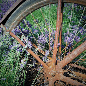 Lavender Wheel by Diana Reed Kubec - Novices Only Flowers & Plants ( plants, old bicycle, lavender, flowers, garden,  )