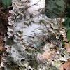 White-Rot Fungus