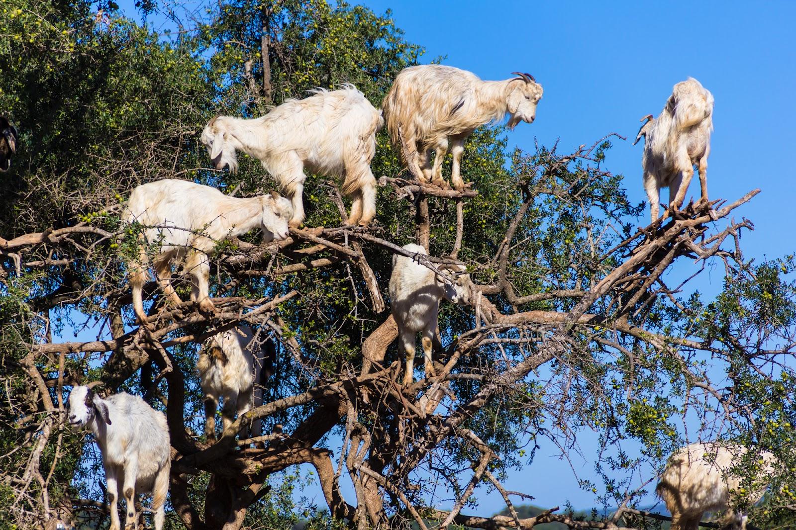 アルガンオイルを作りだす【アルガンツリー(アルガンの木)】は、アフリカ大陸北西端部にのみ自生している樹木です。 アルガンオイルは、1年間雨が降らなくても生きていけるという強い生命力をもつアルガンツリーの種子から抽出され「モロッコの黄金」と称されています。 ヤギがこの木に登ってまで熟す前の果実や葉を食べています。