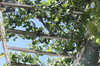 Photo: Gulcan's house had grapes growing on the balcony. It was so quaint!