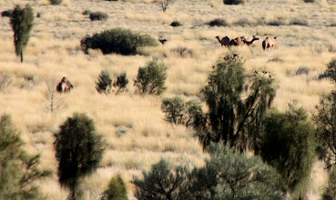 Photo: Year 2 Day 219 - More Wild Specks!!  I Mean Wild Camels