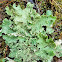 Oregon lungwort