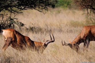 """Photo: """"En garde"""" Two Red Hartebeest ready to engage in a mock fight."""
