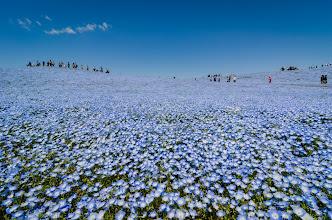 Photo: A sea of nemophilia cover a hillside at Hitachi Seaside Park in Ibaraki Prefecture, Japan