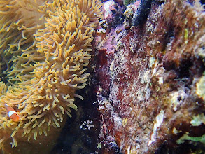 Photo: Thor amboinensis (Sexy Shrimp), Miniloc Island Resort reef, Palawan, Philippines.