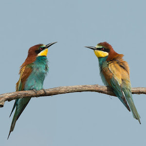 D:\01 GALERIJA FOTO\01 ptice\Čebelar - Rumenogrli čebelar - Merops apiaster\cebelar-26.jpg