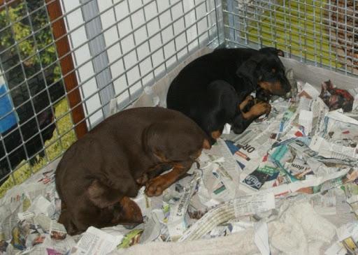 Doberman Puppy Wallpapers