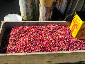 Photo: The berries ready for dehulling.