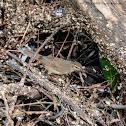 Dusky Warbler 褐柳鶯
