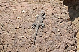 Photo: Drakensberg Crag Lizard