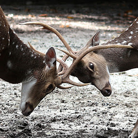 Deer by Paramasivam Tharumalingam - Animals Other Mammals ( , animals horns images image contest unicorn  )