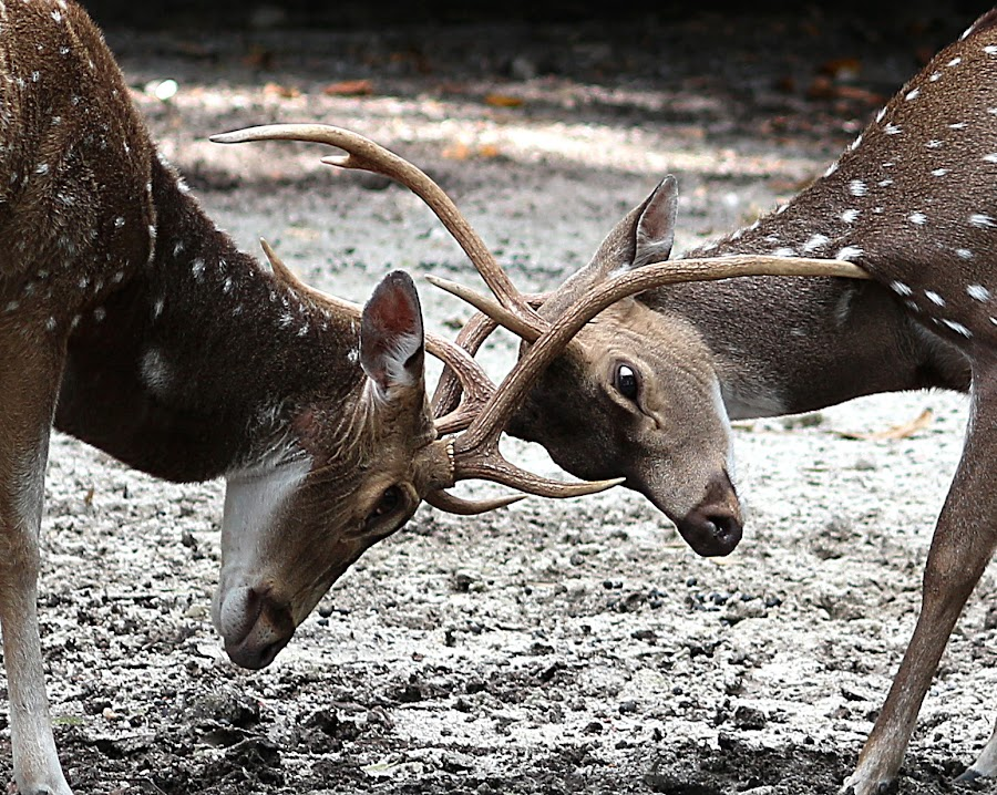 Deer by Paramasivam Tharumalingam - Animals Other Mammals ( , animals horns images image contest unicorn  )