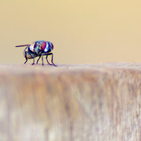 Fly by Jan Crawford - Animals Insects & Spiders ( macro, red, fly, insect, eyes,  )