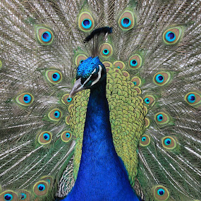 Peacock at FOTA Wildlife Park by Frank Gualtieri - Animals Birds (  )