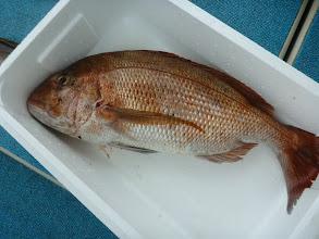Photo: 仲西先生の釣果。 真鯛が大きすぎて発送する発泡スチロールに入りません!