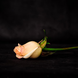 Rose by Jocelyne Maucotel - Uncategorized All Uncategorized ( rose, stilllife, pink, flower )
