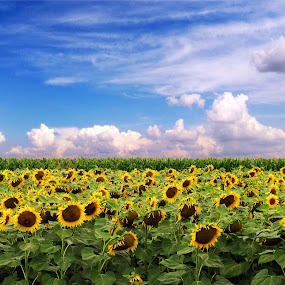 Sunflower fantasy by Milan Milosevic ヅ - Nature Up Close Other plants ( clouds, fantasy, field, sky, nature, blue, plants, sunflower, landscape )