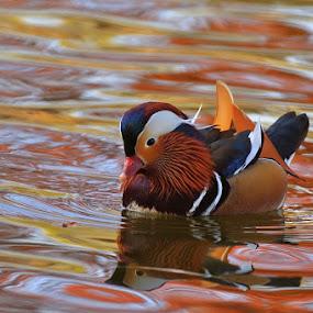 Autumn mandarin duck by Ion Alexandra - Animals Birds ( mandarin duck, colorful lake, reflections, birds )