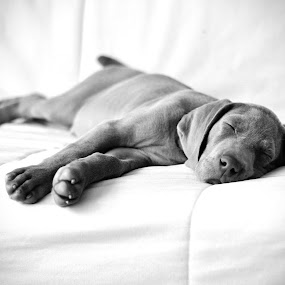 Weimaraner by Hanna Králíková - Animals - Dogs Portraits ( dog; weimaraner )
