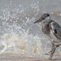 Grey Heron chick