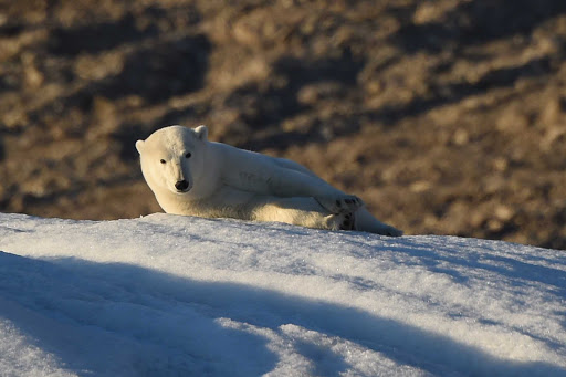 Ponant-Arctic-polar-bear.jpg - Explore the Arctic, or even the entire Northwest Passage, on a Ponant luxury expedition ship.