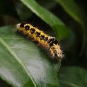 catterpillar