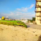 Green hawk moth caterpillar