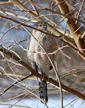 Photo: The feeding frenzy catches the eye of this sharp-shinned hawk. Perched outside of our bathroom window, he kept an eye on our neighbor's and our feeders by shifting position on this branch.