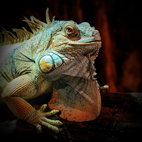 Iguana by Ad Spruijt - Animals Reptiles