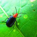 Cereal Leaf Beetle