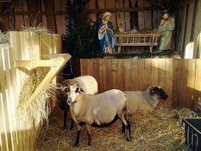 Photo: Owce w szopce w Rawiczu (przy ratuszu) - 07