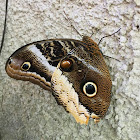 Gold-edged Owl-butterfly