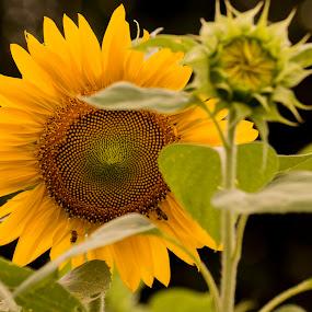 My Bud and Me by Greg Bennett - Flowers Flower Gardens ( sun flower, flower bud, garden, green flowers, yellow flower, flower )