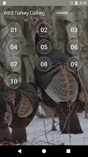 Wild Turkey Hen Calling Sounds - náhled
