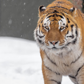 by Mario Guay - Animals Lions, Tigers & Big Cats
