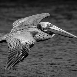 Pelican in Flight by Debbie Quick - Black & White Animals ( debbie quick, outdoors, nature, florida, bird, pelican, animal, black and white, wild, debs creative images, water, wildlife )