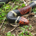 Acuatic Coral Snake