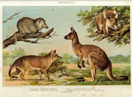 Image result for kangaroos koalas and possums.