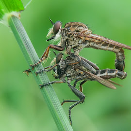 Mating by Okqy Setiawan - Instagram & Mobile Android ( macro, close up, bug, nature, insect,  )
