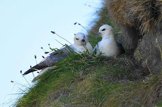 Photo: Fulmarus gracialis, pair on the nest
