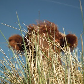 Can you see me ? ..........=D by Paul Rayney - Animals Other Mammals ( hiding, cow, cattle )