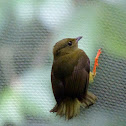 Orange-collard Manakin