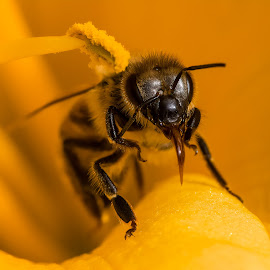 Bee on Flower by Carl Albro - Animals Insects & Spiders ( closeup, insect, bees, flower )