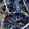 Eastern Dusky Pygmy Rattlesnake