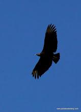 Photo: Black Vulture over San Blas