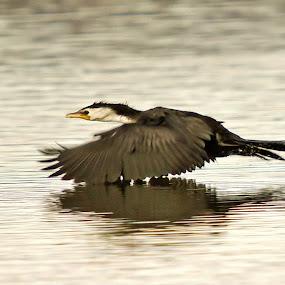 In Flight 11 by Kurien Yohannan - Animals Birds ( bird, flight, pied, cormorant, shag, wildlife, new zealand, rotorua )