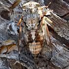 Cicada; Cigarra