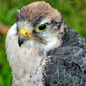 by Bob White - Animals Birds ( bird, predator, bird of prey, grass, green, pretty, birds,  )