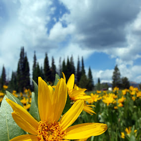 Unnamed  by Vanessa Latrimurti - Nature Up Close Flowers - 2011-2013 ( mules ear, colorado, yellow, landscape, spring, flower )